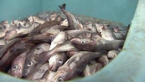 Des scientifiques prévoient une abondance d'aiglefins au large du sud de la Nouvelle-Écosse et dans la baie de Fundy à partir de cette année.