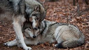 Deux loups se cajolent en forêt