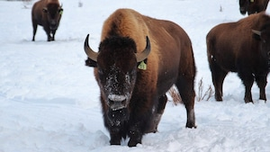 Un bison adulte debout dans la neige.