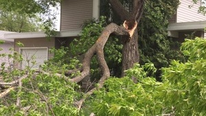 Un arbre fendu en deux à la suite de forts vents
