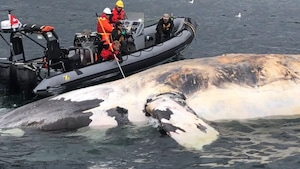 Des chercheurs sur un radeau pneumatique à côté d'une carcasse de baleine.