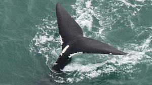 La queue d'une baleine noire