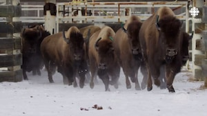 Troupeau de bisons qui courent dans la neige.
