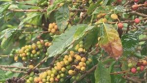 Les feuilles d'un caféier sont attaquées par la maladie de la rouille orangée.