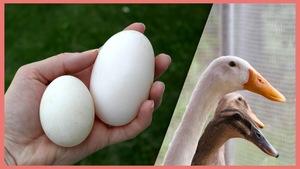 Une main tient deux œufs sur la première image, sur un deuxième photo, on voit des canes pondeuses.