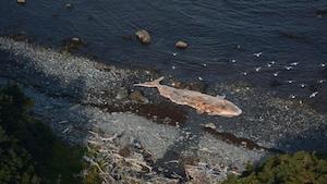 Baleine morte à Terre-Neuve