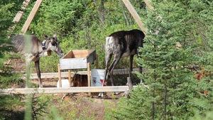 Archives: Caribous forestiers: libération des faons en captivité (2014)