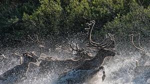 Des caribous courent dans une rivière.