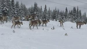 Des caribous forestiers dans la neige