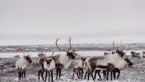 Les résidents de Pakua Shipi ont ignoré l'interdiction de chasse au Labrador dès sa mise en place.