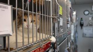 Un chat en cage à la SPA de l'Estrie