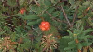 Le temps chaud et sec nuit à certains petits fruits