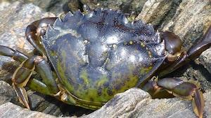 Crabe vert originaire d'Europe