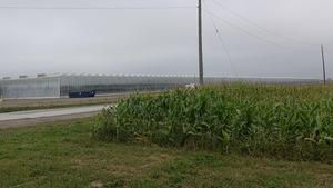 On voit au premier plan, à droite, un champ où pousse du maïs. En arrière-plan, à gauche, d'énormes serres où l'on cultive des légumes.