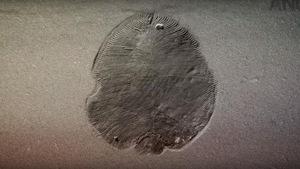 Le plus ancien animal sur Terre était ovale et plat