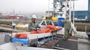 Des crevettes fraîchement pêchées débarquées à Rivière-au-Renard
