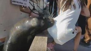 Une otarie tire une fille dans l'eau près d'un quai.