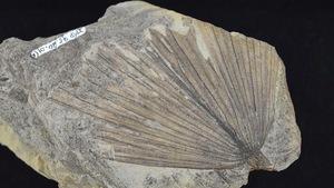 Fossile de palmier préhistorique
