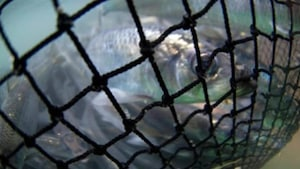 Pêches et Océans Canada permet encore la pêche au hareng, malgré les préoccupations de ses scientifiques.