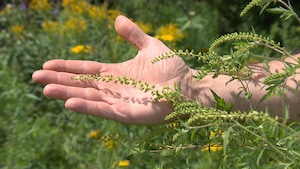 Une main d'homme dans un champ, proche d'un plan d'herbe à poux.