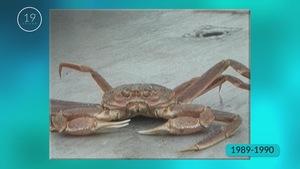 Le crabe des neiges est aujourd'hui l'une des espèces de crustacés les plus lucratives.