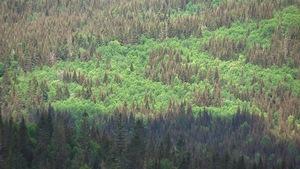 Une forêt boréale en été avec des arbres feuillus et des résineux