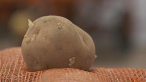 Les pommes de terre commencent à germer lorsqu'elles sont entreposées.