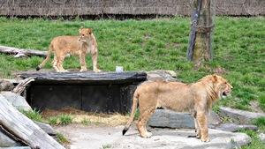 Lions au Zoo de Granby