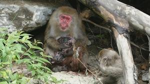 Trois macaques japonais