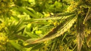 Quand culture de marijuana et assurances ne font pas bon ménage