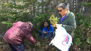 Trois femmes innues récoltent du thé du Labrador