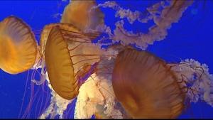 Des méduses à à l'Aquarium de Vancouver