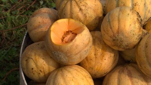 Des melons d'Oka