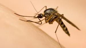 Les moustiques pourraient être nombreux et voraces cet été en Atlantique