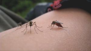 Trois moustiques posés sur un bras.