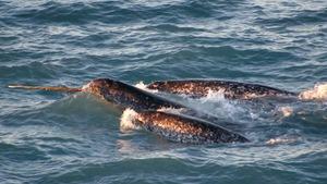 Trois narvals nageant à la surface dans les eaux de l'Arctique canadien.