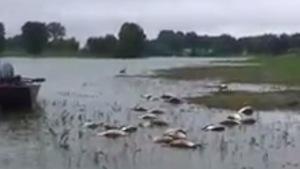 Des dizaines d'oies mortes flottent sur l'eau.