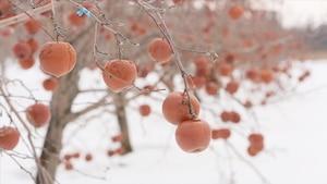 Gros plan de pommes sur les branches