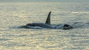 Une orque adulte nage aux côtés d'un bébé orque.