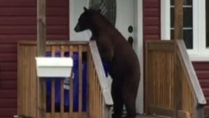 Un ours sur ses pattes arrières, fouille dans un bac de recyclage.