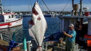Un flétan est suspendu à l'aide d'un crochet au-dessus d'un bateau de pêche à quai.