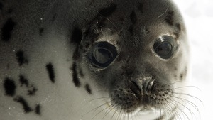 Un jeune phoque