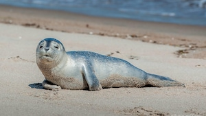 Un jeune phoque sur les plages de Sept-Îles