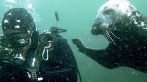 Un phoque très amical avec les plongeurs, près de l'île Bonaventure.
