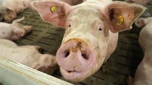 Plusieurs producteurs de porcs du Québec ont perdu des animaux cet été en raison de la chaleur.