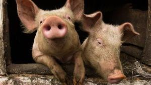 Deux porcs.
