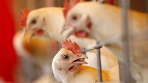 Un élevage de poulets