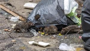 Des rats fouillent dans des sacs de poubelle.