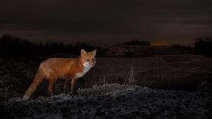 Un renard roux au coucher du soleil, dans la quasi pénombre.