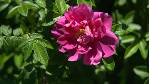 Gros plan sur une rose comestible.